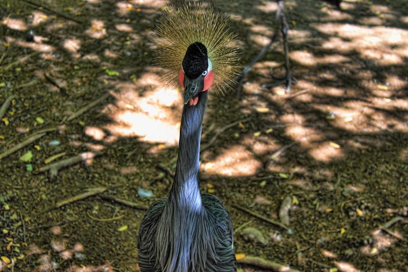 Black Crowned Crane (Balearica pavonina) at the San Antonio Zoo in San Antonio, Texas