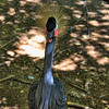 Black Crowned Crane (Balearica pavonina) at the San Antonio Zoo in San Antonio, Texas