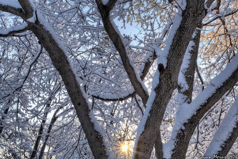 Sunrise through a Snow Covered Tree