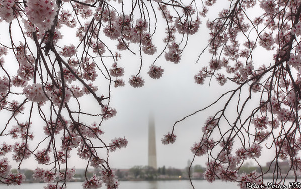 Looking through the cherry blossoms toward the Washington Monument in Washington D.C.  If you would like to read more about this photo, please visit my blog post:   http://brianmoranhdr.blogspot.com/2012/03/foggy-blossoms.html