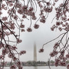 "Looking through the cherry blossoms toward the Washington Monument in Washington D.C.<br /> <br /> If you would like to read more about this photo, please visit my blog post:<br /> <br /> <br />  <a href=""http://brianmoranhdr.blogspot.com/2012/03/foggy-blossoms.html"">http://brianmoranhdr.blogspot.com/2012/03/foggy-blossoms.html</a>"