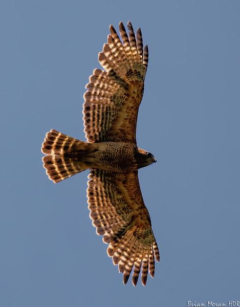Red shouldered hawk in flight