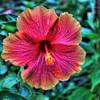 Hibiscus in one of the many garden areas, located at the Japanese Tea Gardens, Brackenridge Park, San Antonio, Texas
