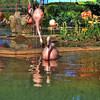 Flamingos on display at Sea World San Antonio.