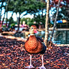 "A duck staring at the camera at Sea World San Antonio in San Antonio, Texas.<br /> <br /> For more on this photo post, please visit my blog post:<br /> <br /> <br />  <a href=""http://brianmoranhdr.blogspot.com/2010/12/great-white-and-duck.html"">http://brianmoranhdr.blogspot.com/2010/12/great-white-and-duck.html</a>"