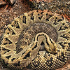 Rattlesnake at the San Antonio Zoo in San Antonio, Texas