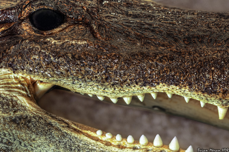 """Macro shot of an alligator head that I purchased at a small tourist shop in northern Florida.<br /> <br /> If you would like to read more about this photo, please visit my blog post:<br /> <br /> <br />  <a href=""""http://brianmoranhdr.blogspot.com/2011/05/remember-gator-that-got-your-hand.html"""">http://brianmoranhdr.blogspot.com/2011/05/remember-gator-that-got-your-hand.html</a>"""