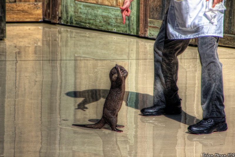 "O.P. Otter ""sticks 'em up"" during a scene from the ""Cannery Row Caper"" at Sea World San Antonio in San Antonio, Texas.<br /> <br /> For more on this photo, please visit my blog post:<br /> <br /> <br />  <a href=""http://brianmoranhdr.blogspot.com/2011/03/sea-world-san-antonio-cannery-row-caper_02.html"">http://brianmoranhdr.blogspot.com/2011/03/sea-world-san-antonio-cannery-row-caper_02.html</a>"