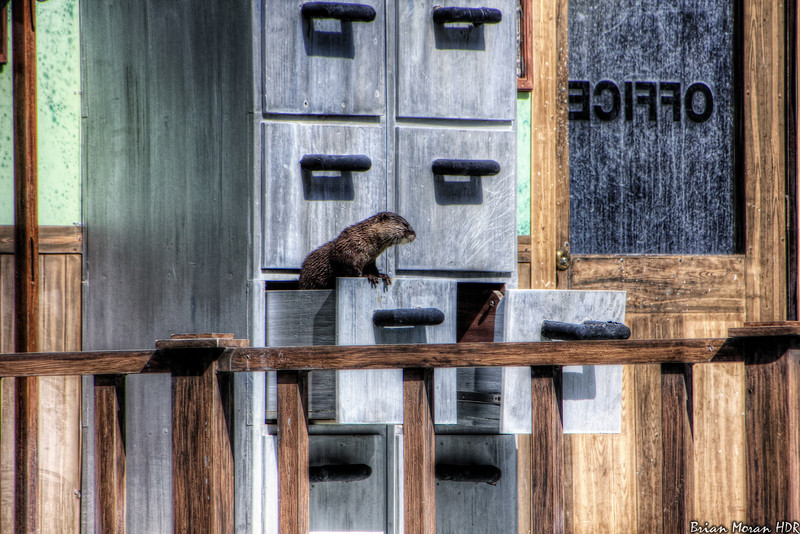 "O.P. Otter searches through the files in the filing cabinet during ""Cannery Row Caper"" at Sea World San Antonio, in San Antonio, Texas.<br /> <br /> For more on this photo, please visit my blog post:<br /> <br /> <br />  <a href=""http://brianmoranhdr.blogspot.com/2011/03/sea-world-san-antonio-cannery-row-caper_02.html"">http://brianmoranhdr.blogspot.com/2011/03/sea-world-san-antonio-cannery-row-caper_02.html</a>"