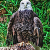 """An American bald eagle resting comfortably at the San Antonio Zoo in San Antonio, Texas.<br /> <br /> For more information on this photo, please visit my blog post: <a href=""""http://brianmoranhdr.blogspot.com/2010/11/american-bald-eagle.html"""">http://brianmoranhdr.blogspot.com/2010/11/american-bald-eagle.html</a>"""