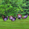 Turkeys 4_tonemapped