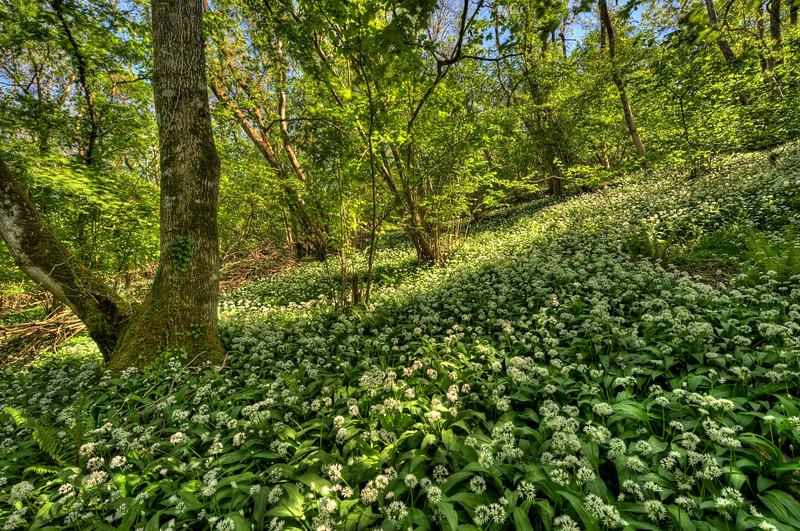 Wild Garlic, Stonehill Down, Dorset