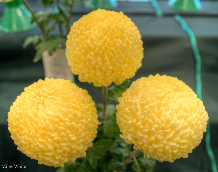 Very Very Yellow Chrysanthemum's @ Christchurch Botanic Gardens