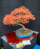 Bonsai Maple Tree @ Christchurch Botanic Gardens