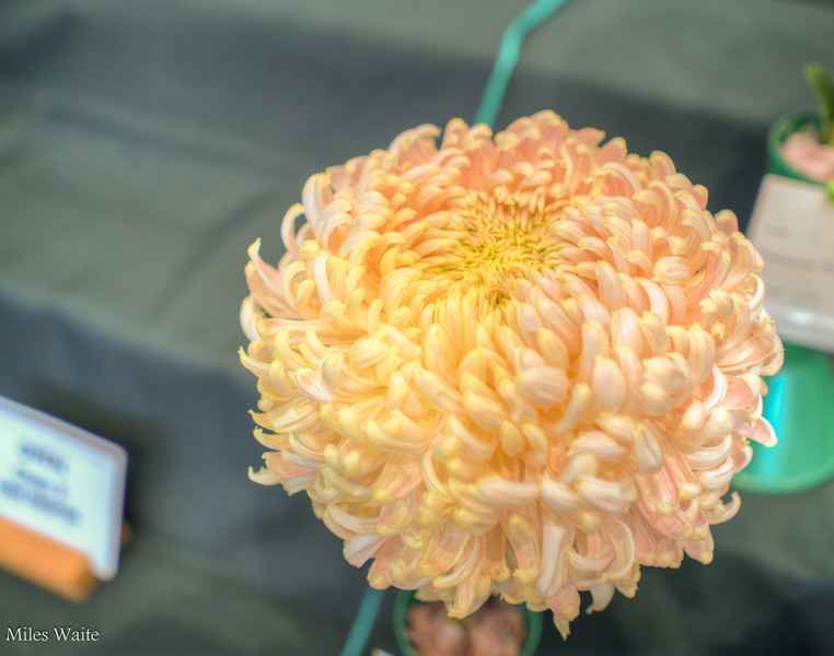 Chrysanthemum's @ Christchurch Botanic Gardens