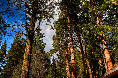 Trees at sunset.  Evergreen Lodge @ Stanislaus National Forest