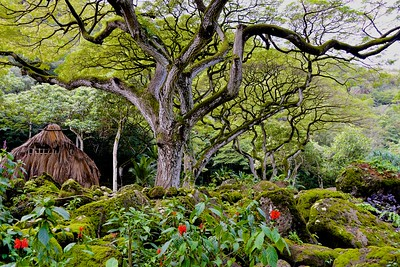 Amazing Trees in Waimea Valley