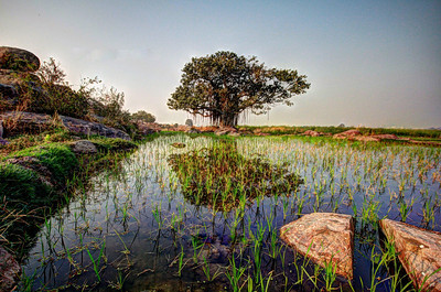 The Lone Banyan - Ameenpur Lake, Hyderabad