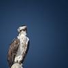 Osprey - Mexico