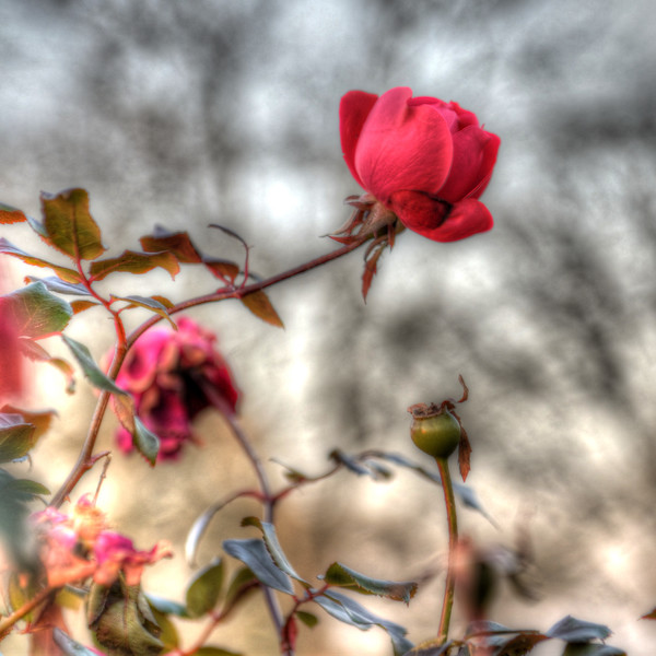 """Edgy""  Red rose against a blurred grey background (created by leafless trees and sky).  Captured in Eden Park, in Cincinnati, Ohio, Fall 2012.  This would look great on metal or on a metallic paper!"