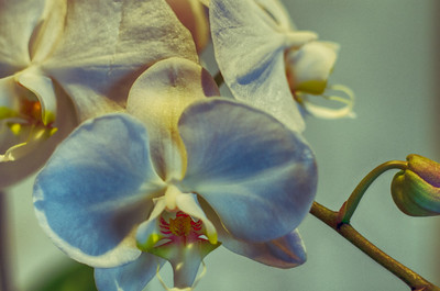 Orchids and buds, single exposure, processed in HDR Efex