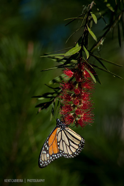 A male Monarch (Danaus plexippus) feeding on a bottlebrush (Callistemon) tree in Monarch Grove Sanctuary of Pacific Grove, CA
