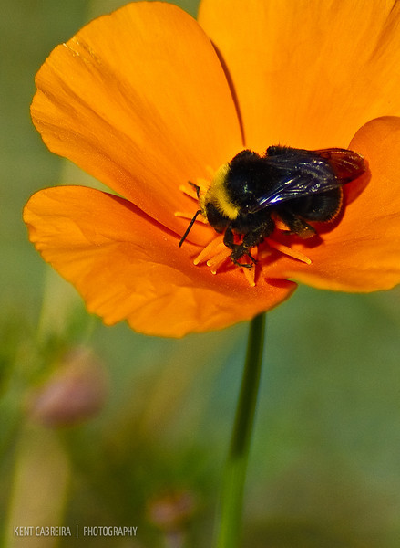 California Poppy (Eschscholzia californica) with Bumble Bee (Bombus lapidarius)