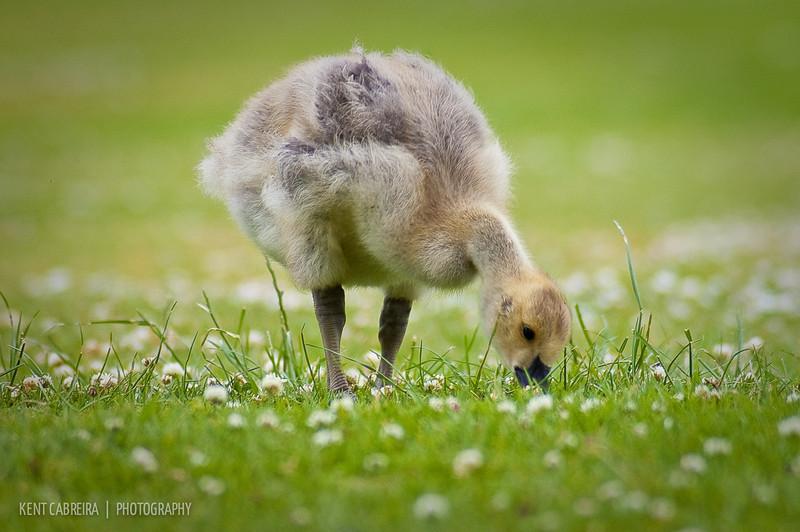 Branta canadensis (Canada Goose) goslings (age 3-6 weeks)