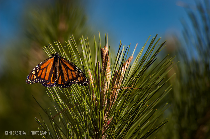 A female Monarch (Danaus plexippus) resting on a Monterey Pine (Pinus radiata) tree in Monarch Grove Sanctuary of Pacific Grove, CA