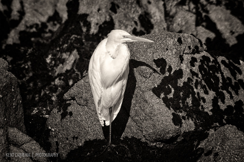 Ardea alba sitting amongst shore rocks lining the Monterey Bay in Pacific Grove.