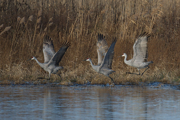 Sandhill Cranes taking flight by water's edge • Montezuma NWR, NY • 2020