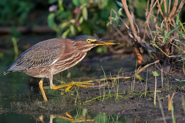 Green Heron on the prowl in marsh • South Sandy Creek, Lakeview WMA, NY • 2015