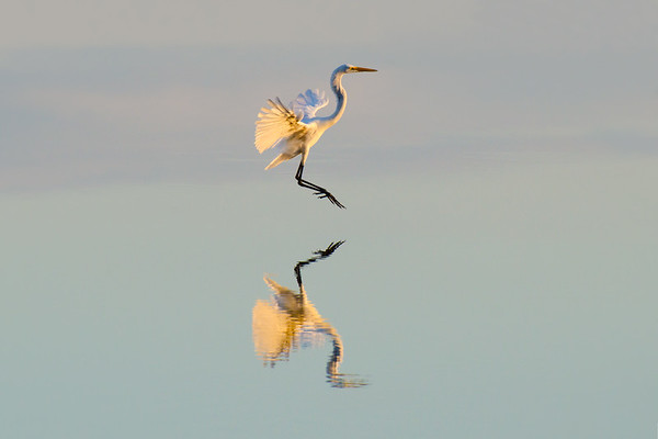 Great Egret hovers over water in setting sunlight with reflection • Mays Point at Montezuma NWR, NY • 2011
