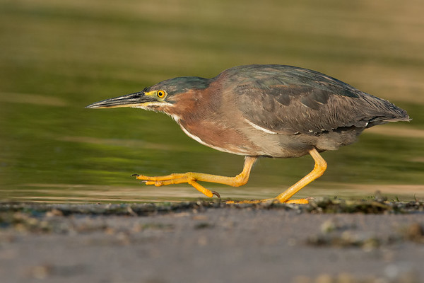 Green Heron on the prowl at sunset • Lakeview WMA at Lake Ontario, NY • 2015