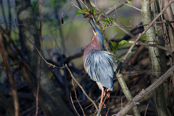 Green Heron with feathers preened reaches for tasty morsel in tree • Sapsucker Woods at Cornell Lab of Ornithology, Ithaca, NY • 2019