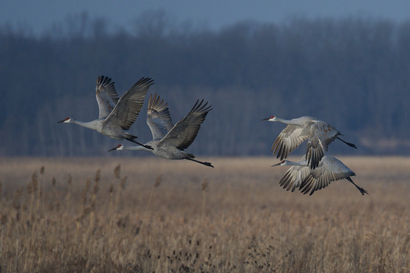 Sandhill Cranes taking flight over field • Montezuma NWR, NY • 2020