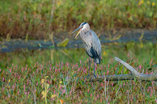 Great Blue Heron calling from log perch overlooking wildflowers • Magee Marsh, OH • 2017