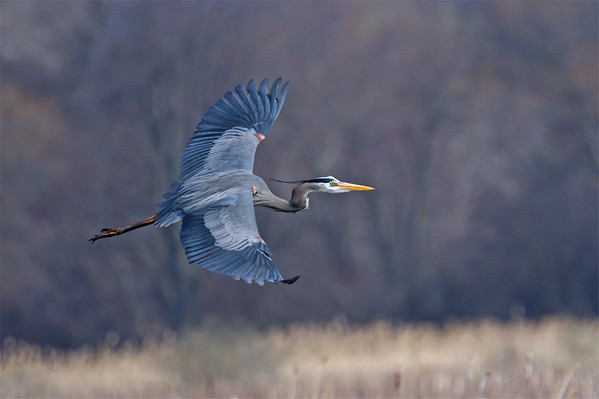 Great Blue Heron flying over field with wings spread • Montezuma NWR, NY • 2019