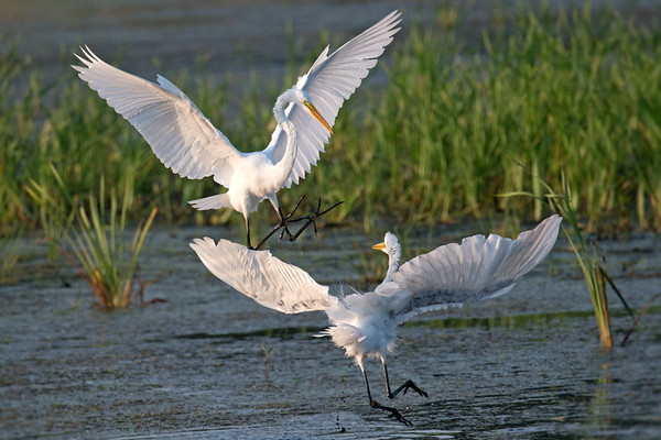 Great Egrets frolic in setting sunlight • Montezuma NWR, NY • 2017