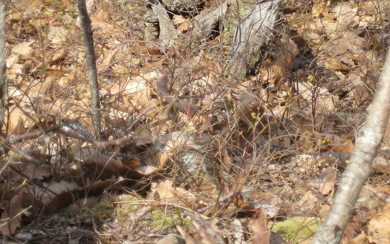 Close-up of the black snake as he slithers off through the leaves. Note eye and head at left. His body extends to the right well beyond the photo.