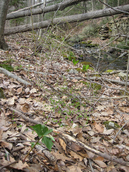 I enjoyed seeing a dark red Trillium blossom (left foreground) and lush green Skunk Cabbage along the creek.