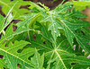 DAY 6; RFDS, Radio School, ANZAC, BBQ: dew on papaya, Cairns boardwalk across from Pullman hotel