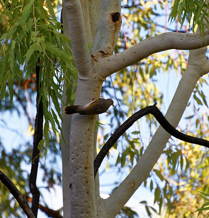 DAY 7; Aborigines, walks at Standley Chasm and Simpson's Gap:  small bird from our room's balcony in Alice Springs