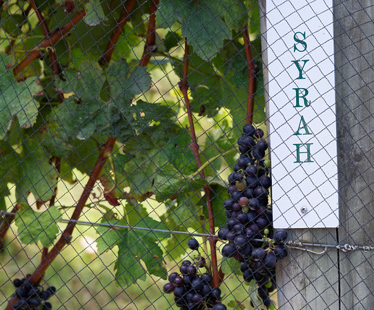 The most popular grape on the island