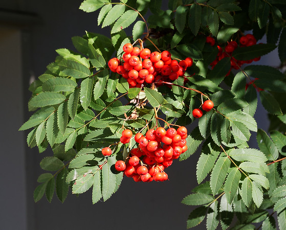 Te Anau Kiwi Country pit stop, closeup of Mountain Ash leaves and berries, not native to New Zealand