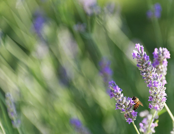 DAY 4:  Lavender and bee just before boarding the bus at Borge San Donino