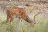 Adult male Spotted deer, Ranthambore