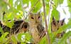 3 owls looking, Sawai Madhopur Lodge, Ranthambore