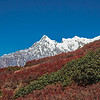 Himalayan mountain landscape with big green bushes and red vegetation in the foreground and a snow-capped mountain ridge in the background under clear blue sky. The Himalayas, Langtang region, Nepal
