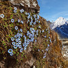 The Skyey Flowers of the Himalayas / Небесные цветы Гималаев